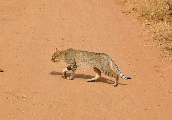 Germiston, แอฟริกาใต้: African Wild Cat Pilanesberg