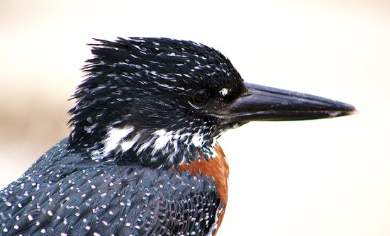 Germiston, Republika Południowej Afryki: Giant Kingfisher Kruger National Park