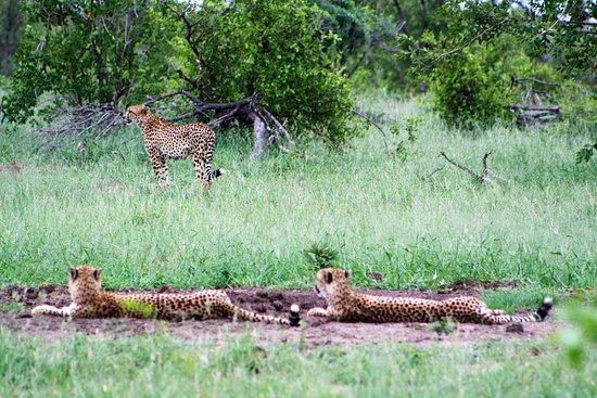 Germiston, แอฟริกาใต้: Cheetahs Kruger National Park