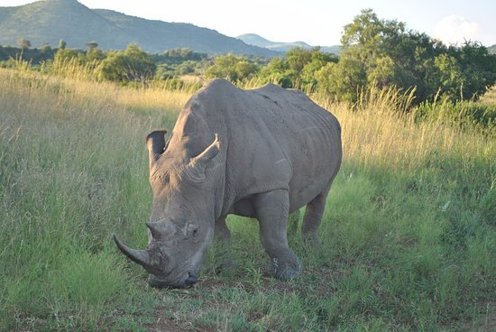 Germiston, South Africa: White Rhinoceros Pilanesberg