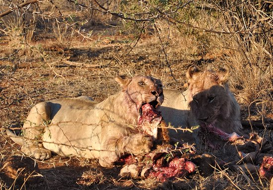 Germiston, África do Sul: Lions on a kill Pilanesberg