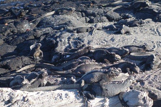 Фернандина, Эквадор: Loads of iguanas