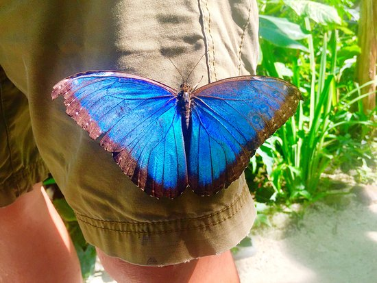 Quartier D'Orleans, Сен-Мартен – Синт-Мартен: Blue Butterfly at the Butterfly Farm