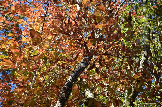 Westminster, SC: Looking up at the colorful leaves.