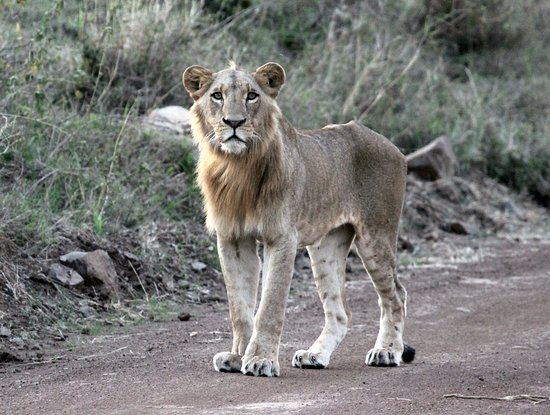 Nairobi Tented Camp: young male lion