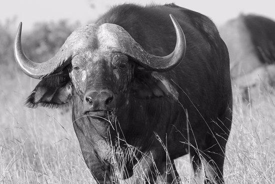 Nairobi Tented Camp: buffalo