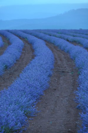 Tasmania, Australia: Lavender Flowers in Rows in Full Bloom