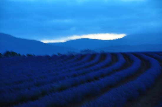 Tasmania, Australia: Late evening lavender