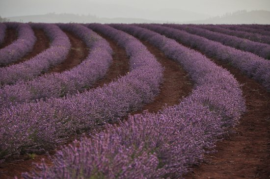 Tasmânia, Austrália: Beautiful Bridestowe Lavender