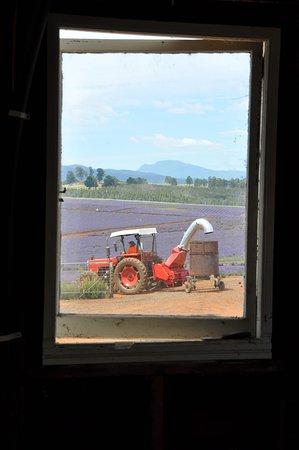 Tasmânia, Austrália: Lavender Harvesting