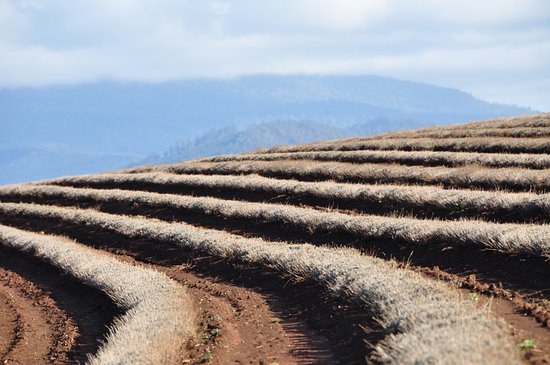 Tasmania, Australia: Winter Rows