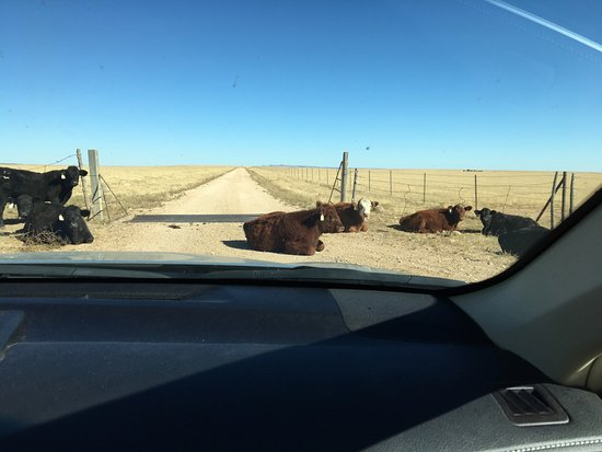 Springer, Nowy Meksyk: Cows blocking the road