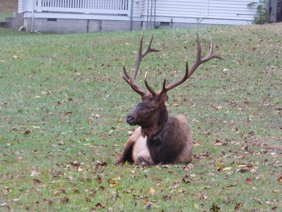 Wyndham Smoky Mountains: An Elk taking life easy in the Catlahoochie Park, NC
