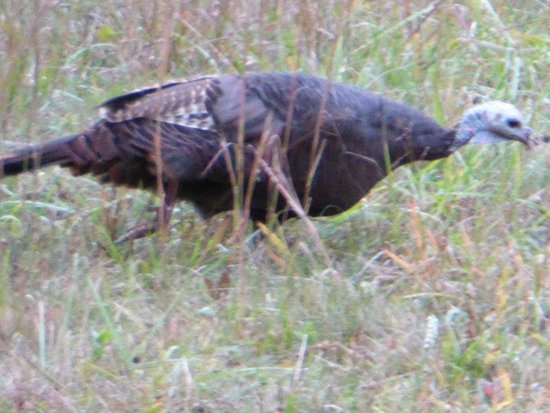 Wyndham Smoky Mountains: Wild Turkey in the Catlahoochie Park, NC