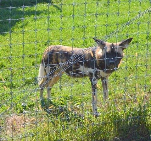 Cumberland, OH: Painted dog at the carnivore center