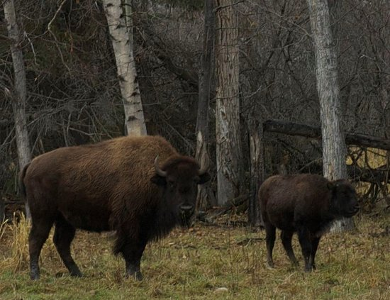 Slave Lake, Canada: Bison on the ranch