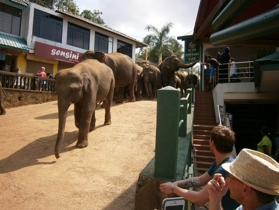 Bentota, Sri Lanka: Pinnawala, Elephants on route to bathing