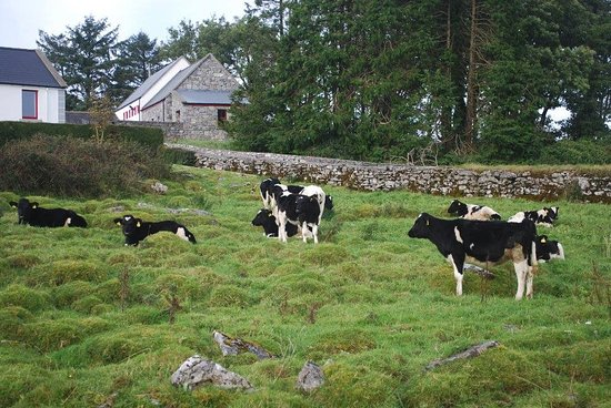 Caherconnell, Ирландия: Cows at the Stone Fort