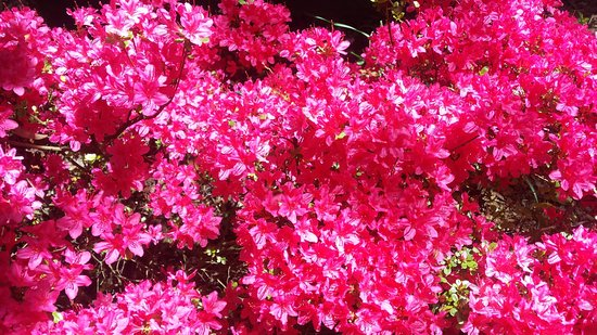 Blackheath, Australia: Fabulous azalea colours