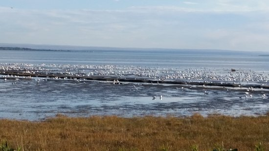 Saint-Joachim, Canada: Les oies sauvages.