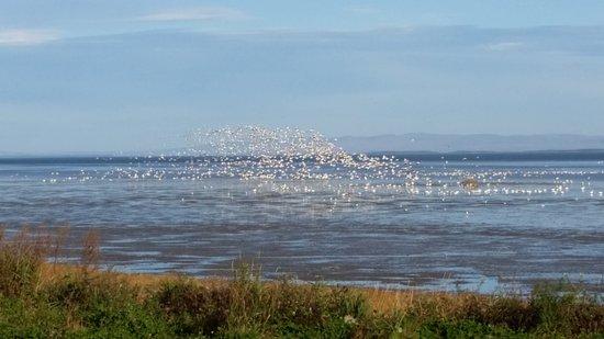 Saint-Joachim, Canada: Les oies sauvages s'envolent.