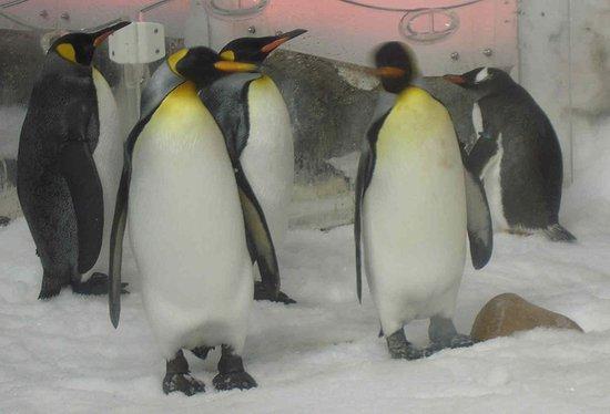 Sea Life Melbourne Aquarium: King Penguins