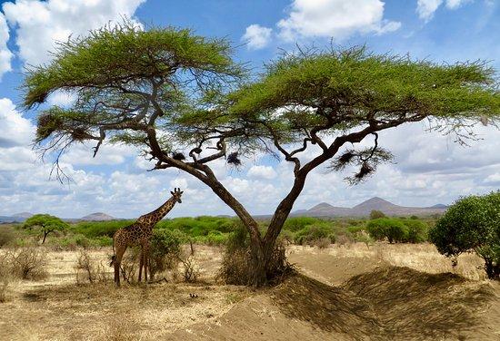 Natural World Kenya Safaris: @ Tsavo West