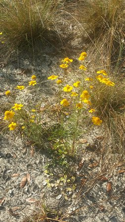 Keystone Heights, FL: Pretty Wildflowers on the trail