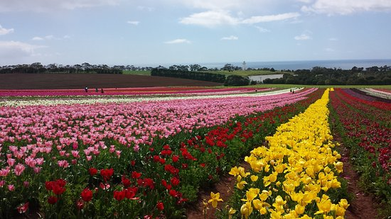 Table Cape Tulip Farm, northwest Tasmania
