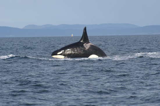 Eagle Wing Whale Watching Tours: Happy orca