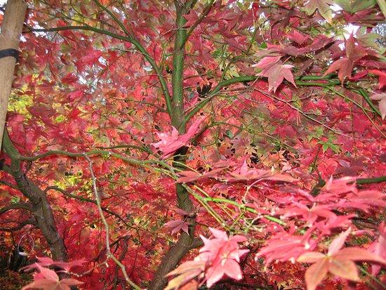 Poolewe, UK: Inverewe maple, end of October