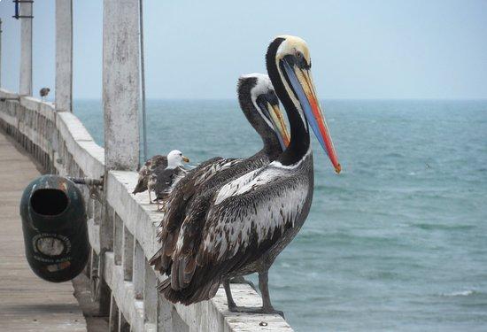 Cerro Azul, Pérou : Pelicanos na ponte