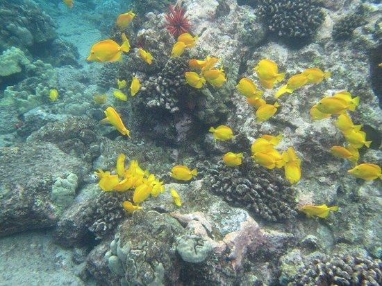 Sea Quest Snorkel Tours: Amazing snorkel on the 5 hr southern Kona tour