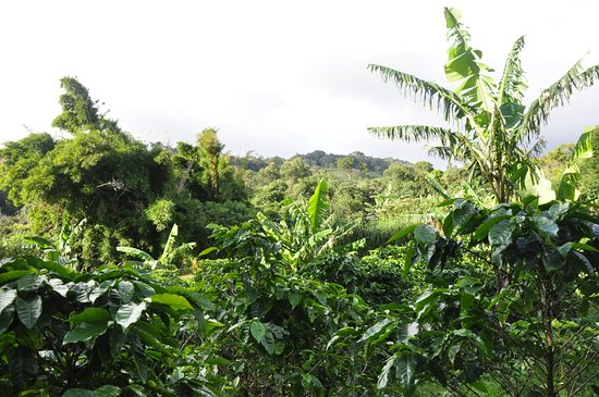Santa Elena, Costa Rica: view of coffee plantation