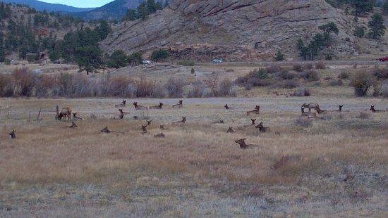 YMCA of the Rockies: Elk herd in Estes Park