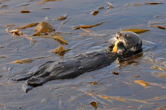 Monterey, CA: Sea otter