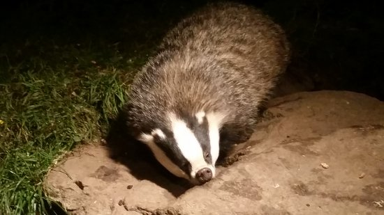Aviemore, UK: Fabulous night with badgers and pine martins.