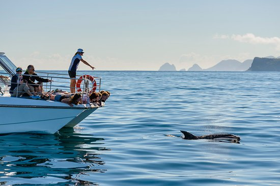 Fullers GreatSights Bay of Islands Day Tours : View and swim with dolphins
