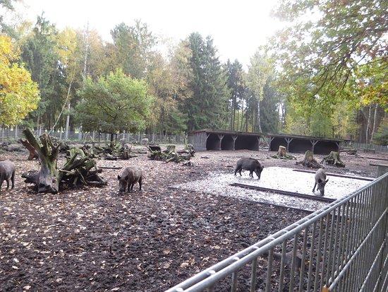Müden, Deutschland: Wildschweine