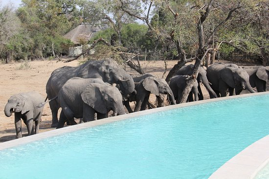 andBeyond Ngala Safari Lodge: Watch elephants drink from a trough around the swimming pool