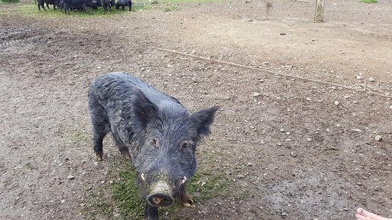 Coromandel Peninsula, Nowa Zelandia: Welcome to Stu and his Wild Pigs!