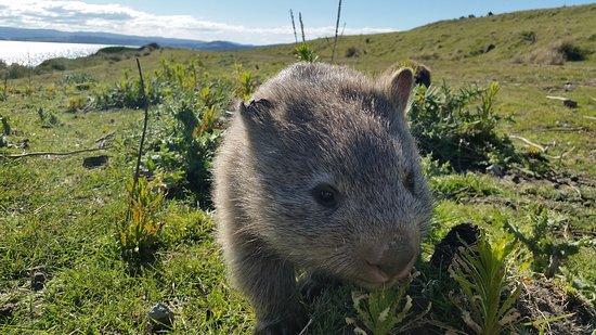 Tasmânia, Austrália: Maria Island National Park