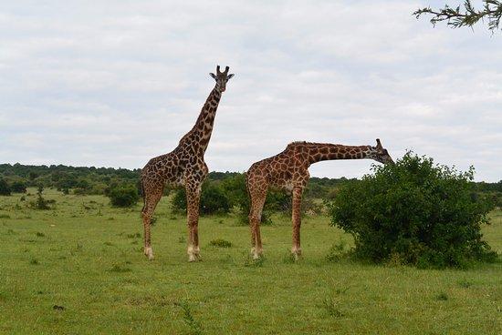 African Game Trek Safaris - Day Tours: Giraffe in Masai Mara