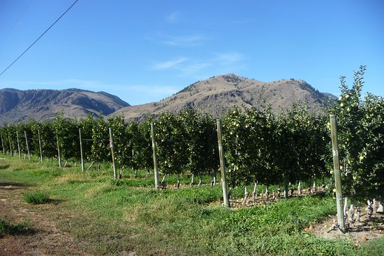 Cawston, Canadá: Apple orchard around Crowsnest.