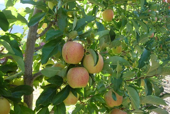 Cawston, Canadá: Ripening apples near the Crowsnest Winery.