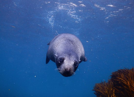 Blairgowrie, Australia: Australian Fur Seal in swimming in for a look.