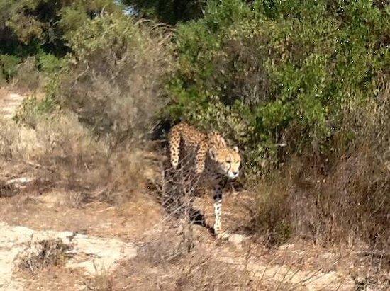 Cape Team Tours - Day Tours: Big cat