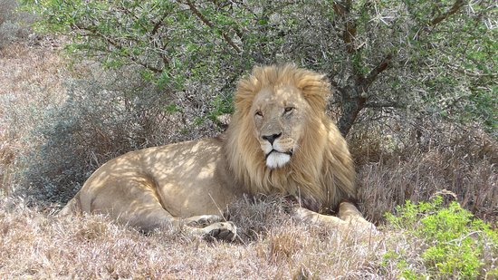 Paterson, Südafrika: A male lion - yes we were that close.