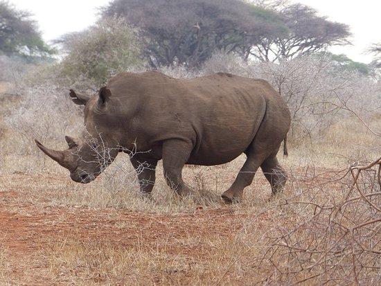 Chiredzi, زيمبابوي: A magnificent white rhino 