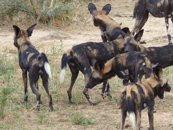 Chiredzi, زيمبابوي: Wild dogs galore 